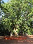 รูป ต้นโพธิ์ จากพระศรีมหาโพธิ์ต้นที่ 4 ที่อินเดีย