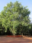 รูป ต้นโพธิ์ ถ่ายจากบนศาลาปฏิบัติธรรม วัดป่าดอนหายโศก